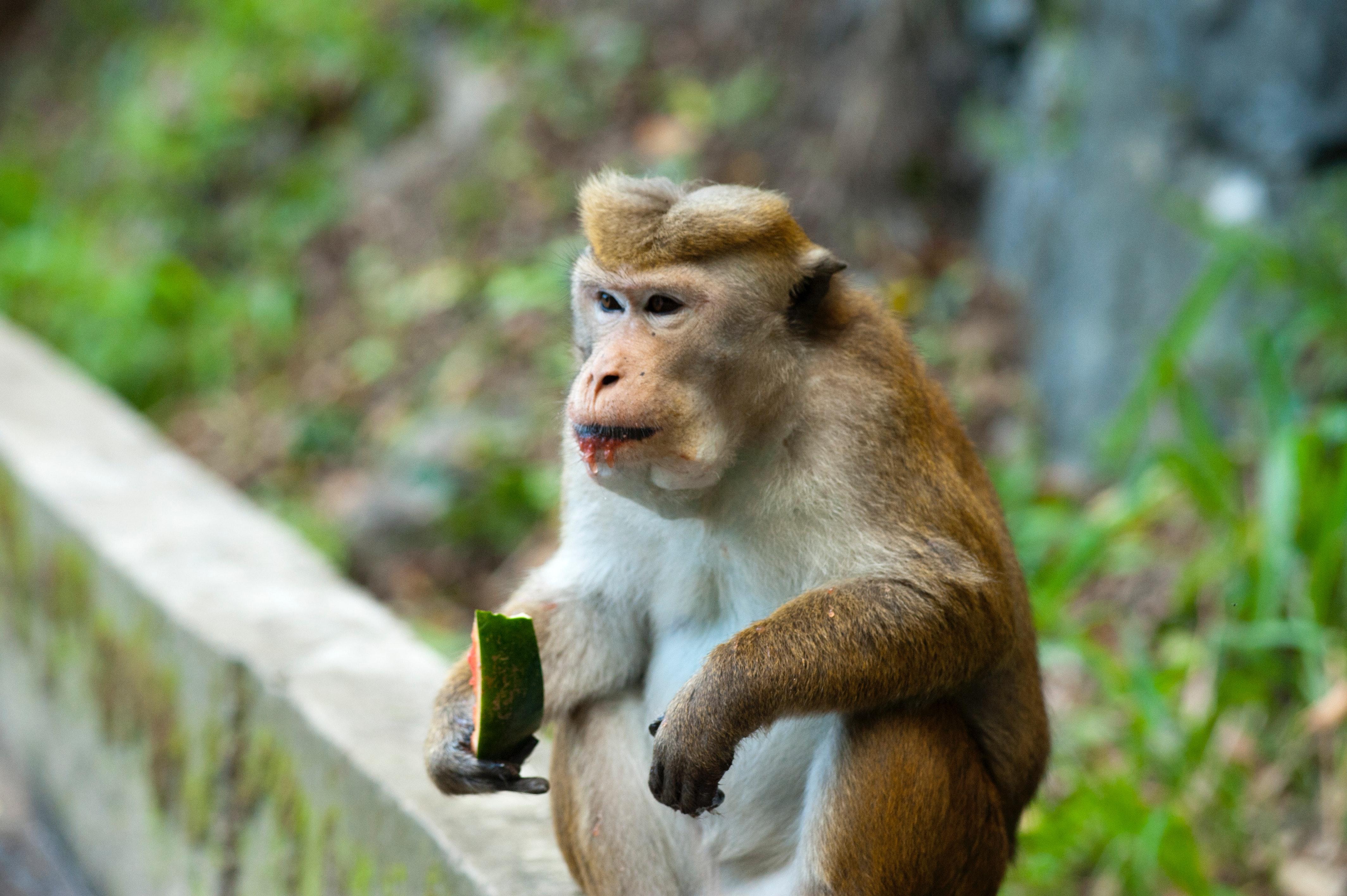 małpka-mem