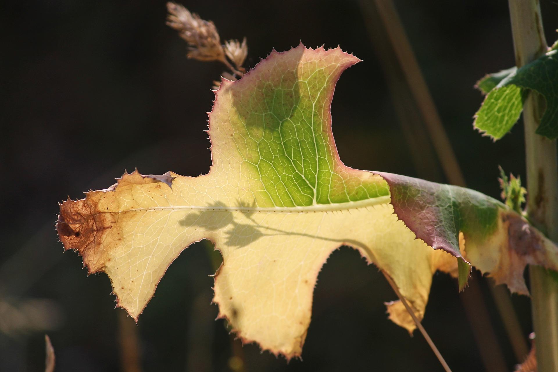 uschłe liście