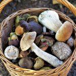 Wrzesień to idealny czas na grzyby. Jak przygotować się do zbiorów?