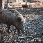 Wirus afrykańskiego pomoru świń potwierdzony w województwie lubuskiem